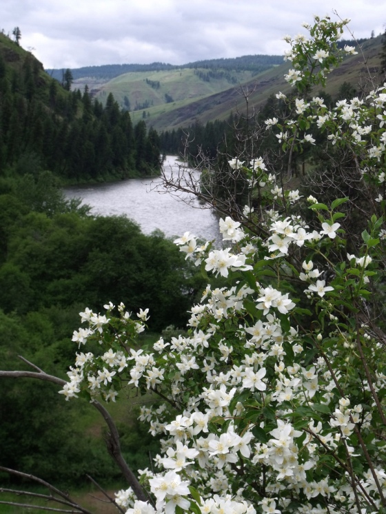 Mock Orange above the River