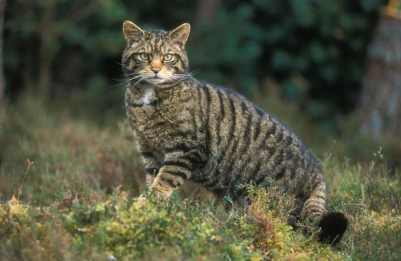 Scottish-wildcat-MS3000TIFF