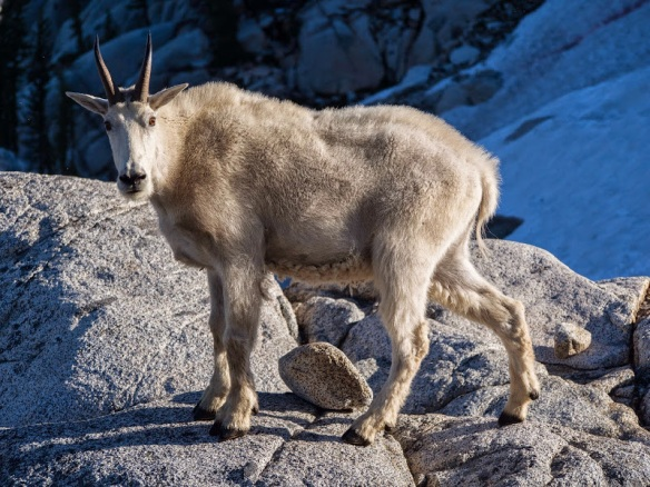 Mountain Goat - Cascades