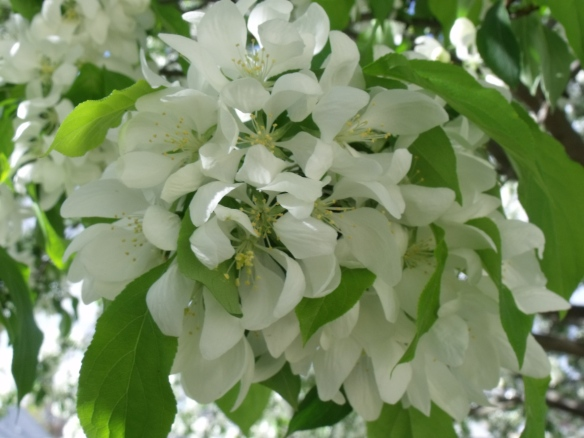 """April Blooms"", photo taken of the flowering crabapple in my yard."
