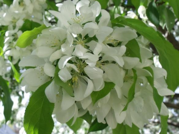 """April Blooms"", photo taken of the flowering crabapple in my yard."