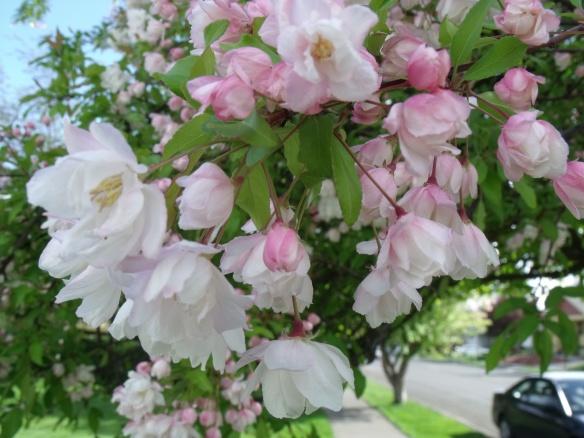 """""""April Blossoms"""", photo, Eliza Ayres"""