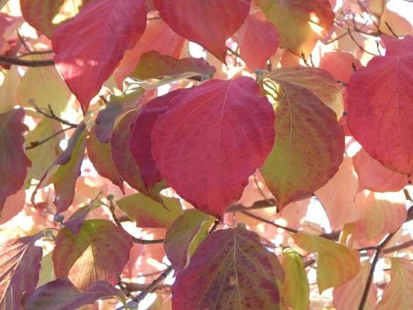 Dogwood Autumn
