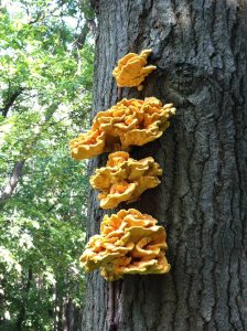 One of my favorite mushrooms- the Chicken of the Woods