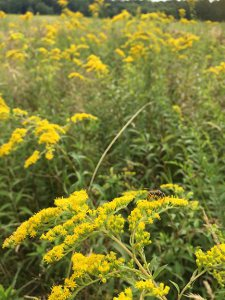 Field of Goldenrod in Fall