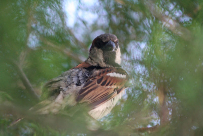 hidden-sparrow-1549262 (1)